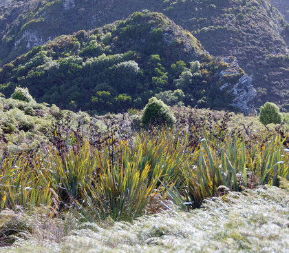 Regenerated New Zealand Flax Okia Flats Reserve