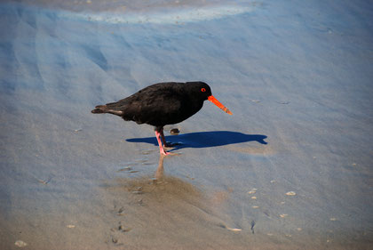 Variable Oystercatcher, Victory Beach