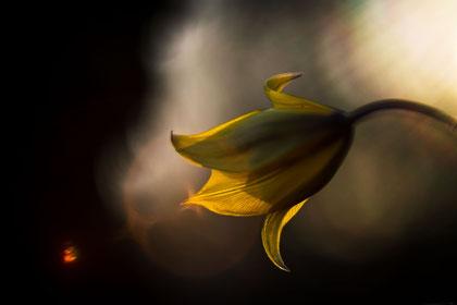 Tulipe sauvage en Anjou - Stephane Moreau - Photographe à Chalonnes sur loire - Maine et Loire