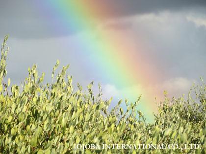 ♔ 原種ホホバの聖地アリゾナ州ハクアハラヴァレーの原種ホホバと虹🌈
