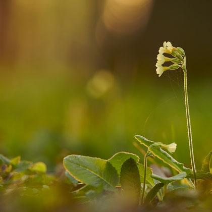 Hohe Waldschlüsselblume