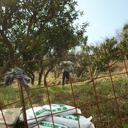 急斜面の蜜柑山へ発酵鶏糞を運ぶ