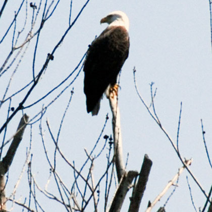 The National Bird: Bald eagle (Haliaeetus leucocephalus)