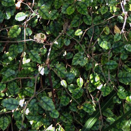 Putaputaweta (Carpodetus serratus)