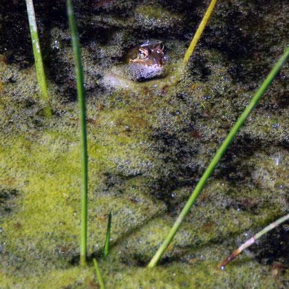 Frog at Montagu