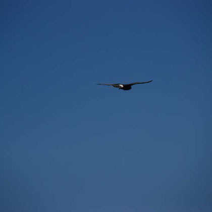 Black Harrier fly-past 4