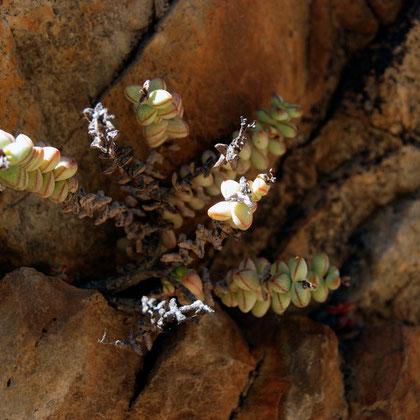 Concertina Plant, Sosiates (Crassula rupestris)