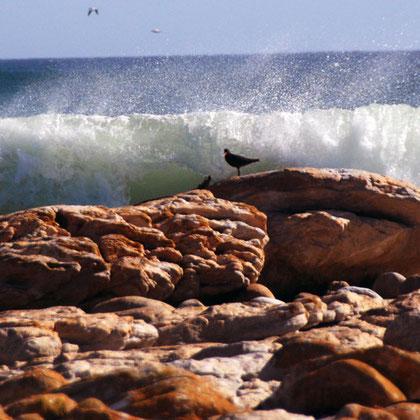 Rocks and Cape Oystercatcher and crashing wave near Olifantbos