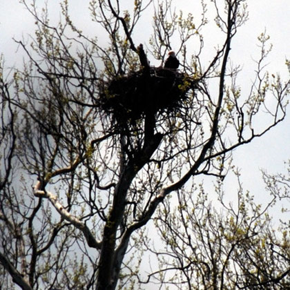 Bald eagle nest with resident