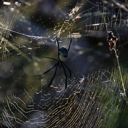 Spiders at Kirstenbosch Botanical Gardens