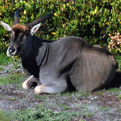 Bull Eland