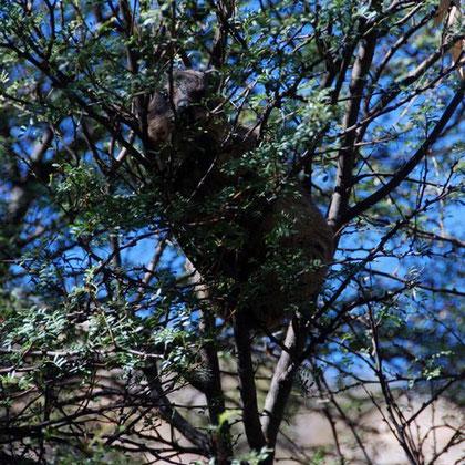 Dassie - rock hyrax - up a tree