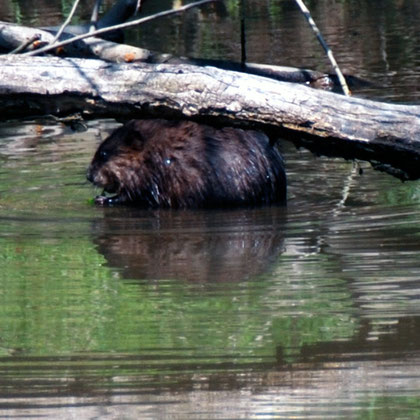 Muskrat (Ondatra zibethicus) on the C&O Canal