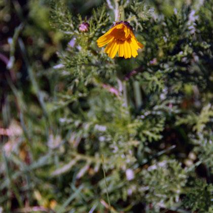 Field calendula (Calendula arvensis)