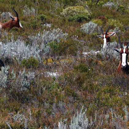 Bontebok at rest with young in the Cape fynbos