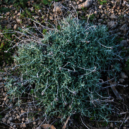 Sun-Gold Everlasting (helichrysum conglobatum)