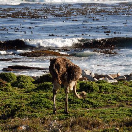 Femal ostrich near Maclear Beach and Cape of Good Hope