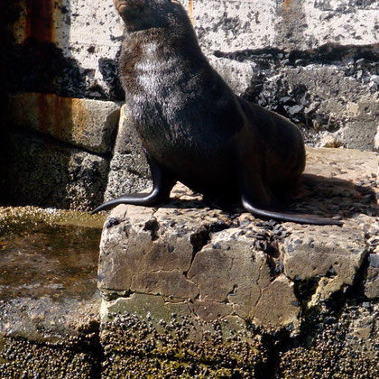 Cape Fur Seal at Kalk Bay harbour (c) Peg Murray Evans
