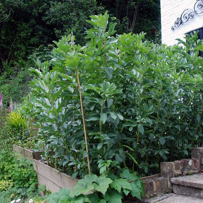 Tallest broadbean plants ever