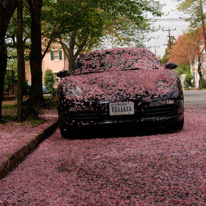 Ornamental cherry blossom and car in Alexandria