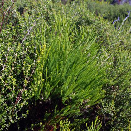 Fynbos plants