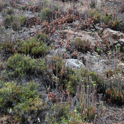 Succulent, Fikardou
