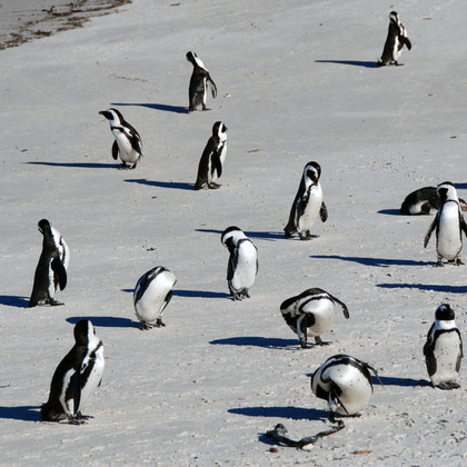 African Penguins have longer feathers than their Antarctic cousins to allow somne heat loss