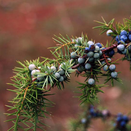 Wild Juniper berries