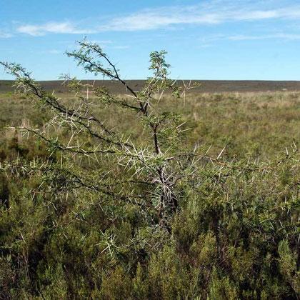 Acacia and renosterveld