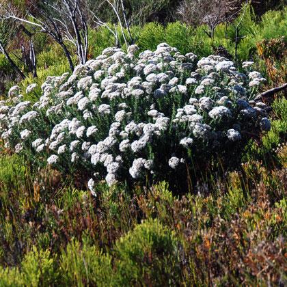 Petalacte coronata -'Wildesewejaartjie'