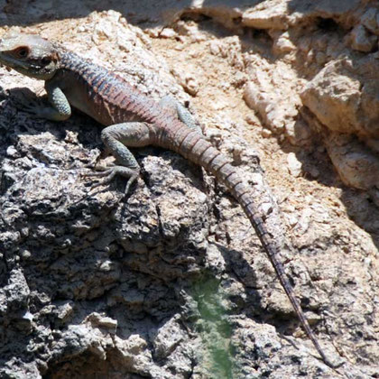 Sling-tailed Agama