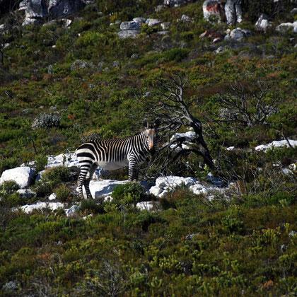 Cape Zebra on the Olifantbos Bay road