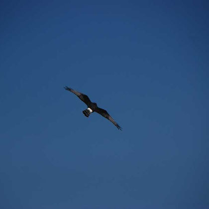 Black Harrier fly-past 3