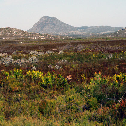 Smitswinkel Flats and Jadas Peak with leucadendron laureolum