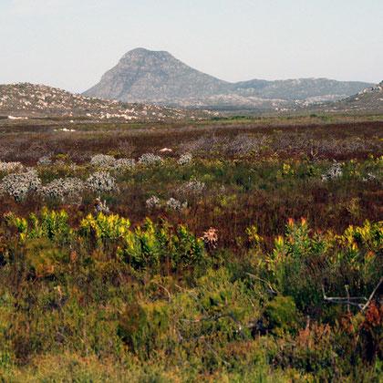 Smitswinkel Flats and Jadas Peak with leucadendron laureolum