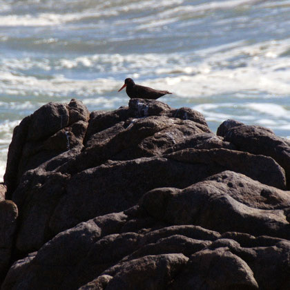 Cape Oystercatcher, Tsaarsbank, West Coast National Park