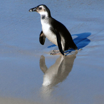 An immature African Penguin yet to get the characteristic black markings