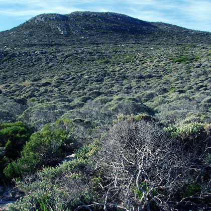 Wind combed fynbos near Cape of Good Hope