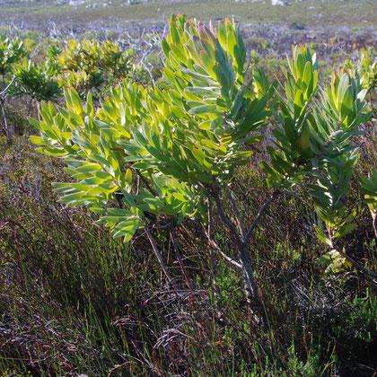 Leucadendron laureolum