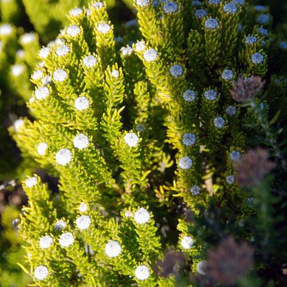 Phylica - 'Hardeblaar'- (phylica ericoides)