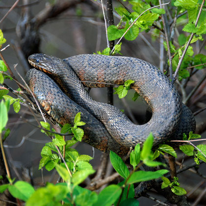 Northern Water Snake (Nerodia sipedon) basking in a canal-side bush at lock near Springridge Road