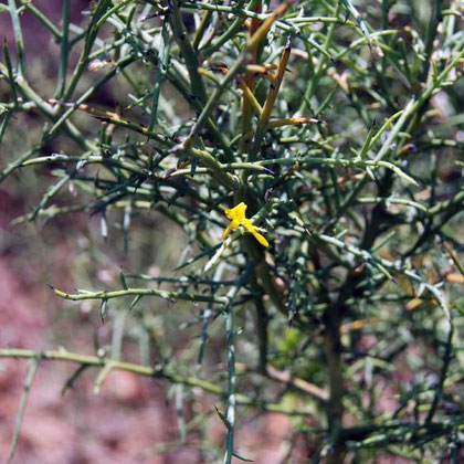 Cyprus Broom (Genista sphacelata) endemic to Cyprus