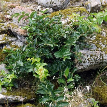 Tutu (Coriaria arborea), mosses, grasses, hebe