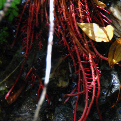 Red roots of an exposed shrub