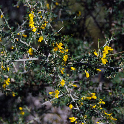 Spiny broom (Calicotome spinosa)