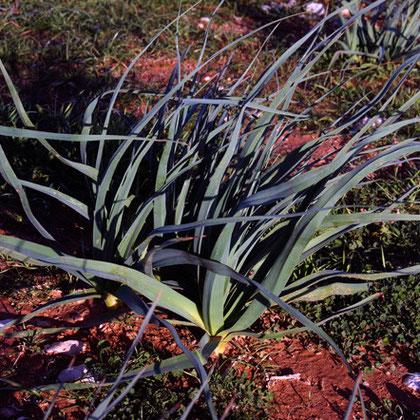 Tall Asphodel (Asphodelus aestivus)