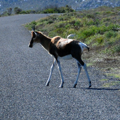 Young Bontebok crossing the road