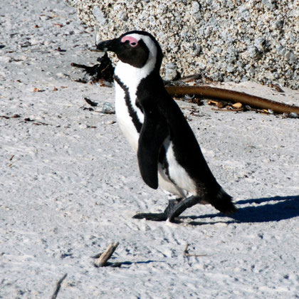African Penguins mate for life and share parenting duties