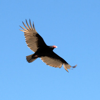 Turkey vulture (Cathartes aura) at Great Falls