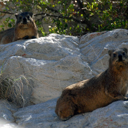 Distantly related to the elephant the Dassie has long tusk-like upper incisors and padded feet kept moist by sweat glands